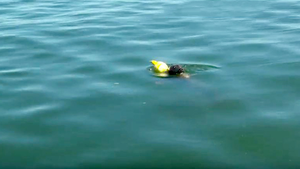 Amazing rescue of struggling seal caught in buoy lines off Cape Cod