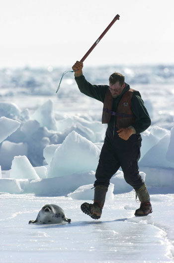 On the frozen ice of the Gulf of St. Lawrence, a sealer moves in to kill a seal pup with a hakapik -- a spiked club. The hunt takes place annually in the spring.  Photo: c. IFAW