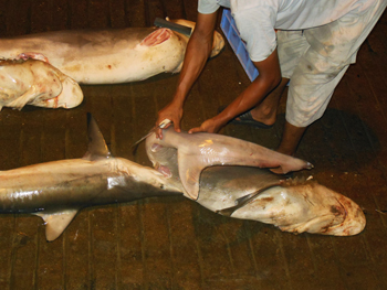 Shark finning at a market in Dibba, Oman.