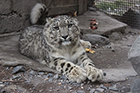 Snow Leopard Cub taken from the Wild in Pakistan gets new Home