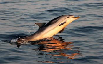 Een gestreepte dolfijn duikt op tijdens de zonsondergang