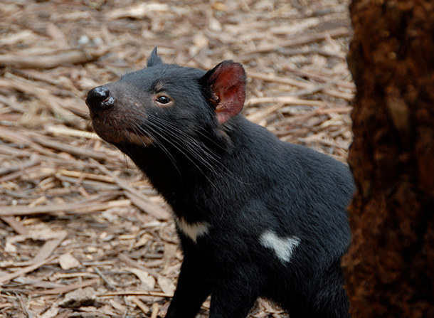 The iconic Tasmanian Devil, once found all across Australia, now only exists in