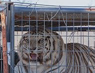Check out IFAW's big cat rescues