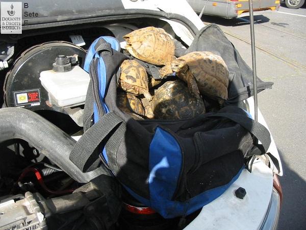 La saisie de 70 tortues mauresques fin avril 2014. Crédit photo : Douane française
