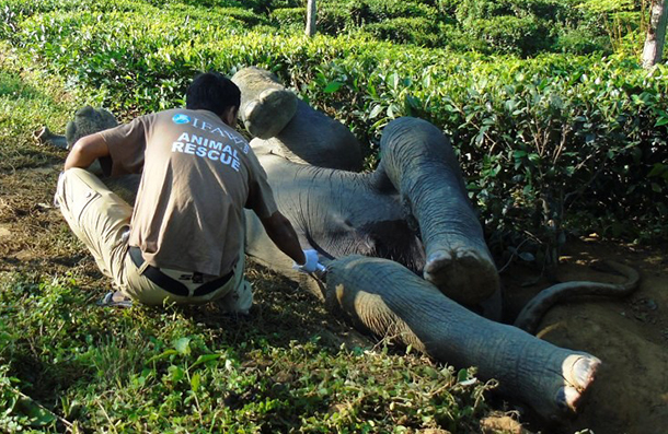 IFAW, WTI, and the local community dig out stranded elephant.