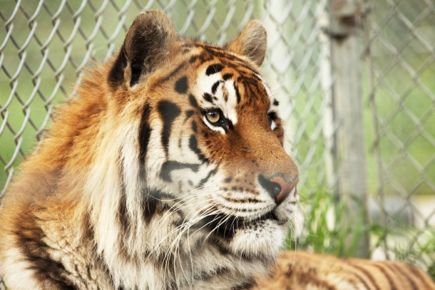 No law exists in New York that prevents direct handling of big cats in exhibits.