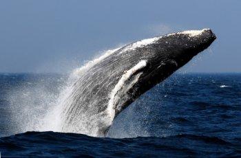 国际捕鲸委员会大会投票通过加强鲸类保护的措施