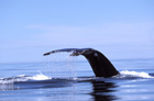 Ship Strike Rule Renewed:  A Win for Whales