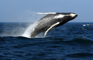 日本捕鲸船无劳而返,IFAW呼吁日本永久停止残忍捕鲸业
