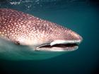 La conférence des Nations unies en passe de renforcer la protection des requins