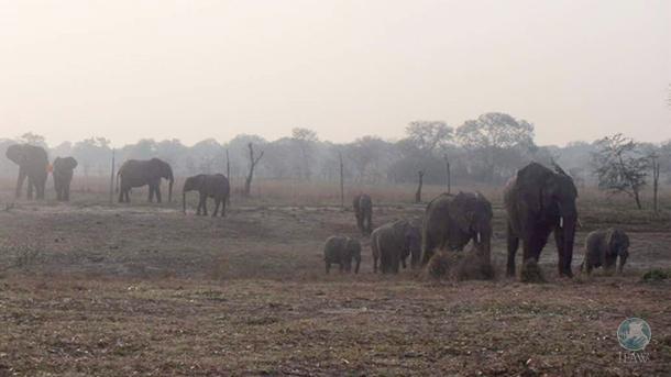 Een wilde olifantenstier volgt Chamilandu, de matriarch van de uitzetkudde van h