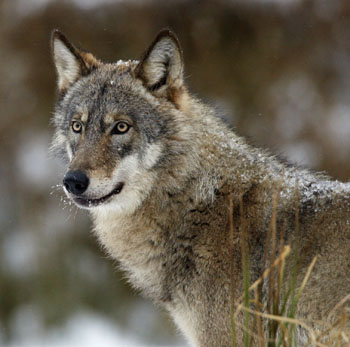Since losing their endangered species status in 2011, wolves now fight for survival