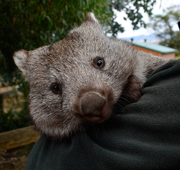 The Wynans and public pressure save wombat burrows from loggers' bulldozers.