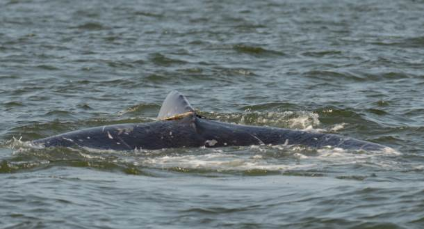 And what a great surprise when the third whale we observed was Ponchik!