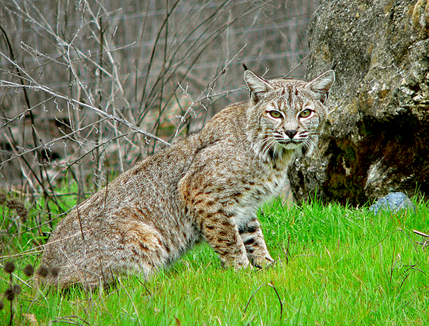 "Governor Pat Quinn rejected a measure, which would have established a statewide bobcat hunting season to ""manage"" an alleged abundance of the animals in Illinois."