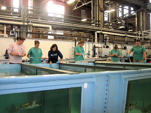 The crew at NEAq during a feeding session that can last up to four hours. Each turtle is offered herring and squid and many are getting oral medications and vitamins.