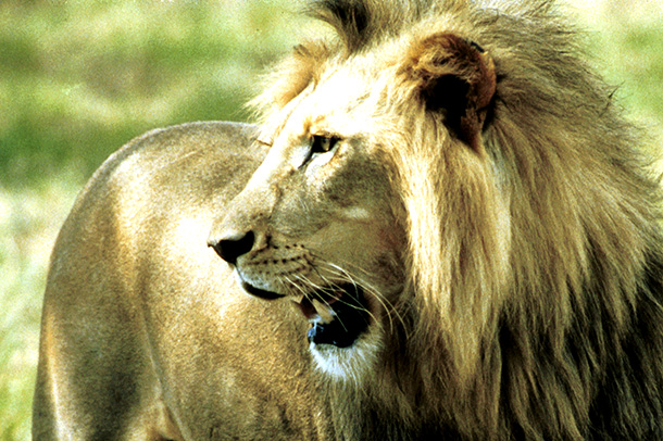 IFAW activists mobilized 21,441 supporters to submit comments backing listing the African lion as a Threatened species throughout the whole of its range.