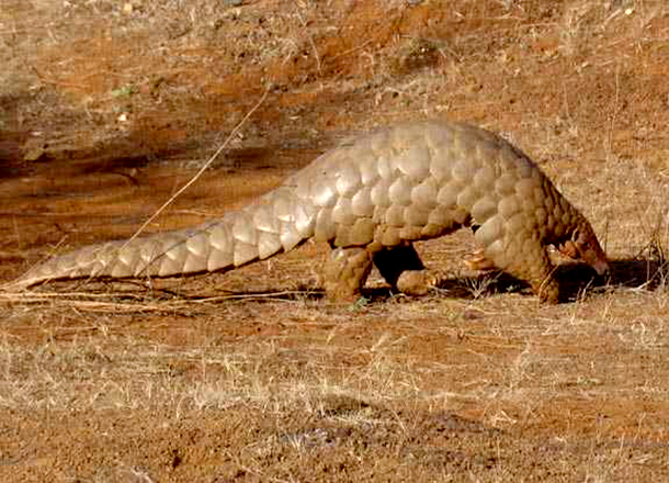 Pangolins hold the inglorious distinction of being the most heavily trafficked wild mammal in the world. Photo by Sandip kumar