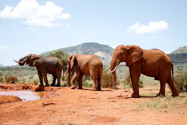 IFAW is working to uplist African elephants to Endangered status under the US Endangered Species Act.
