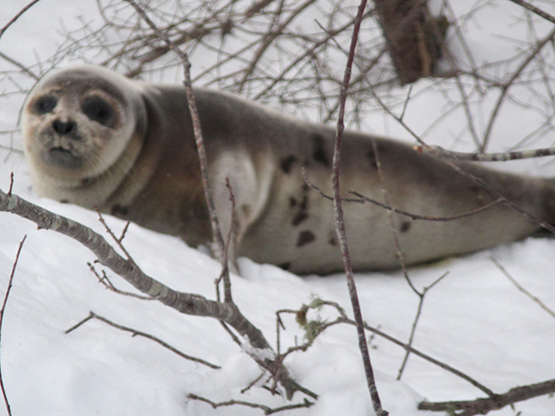 Wayward seal in need of rescue – simply in the wrong place.