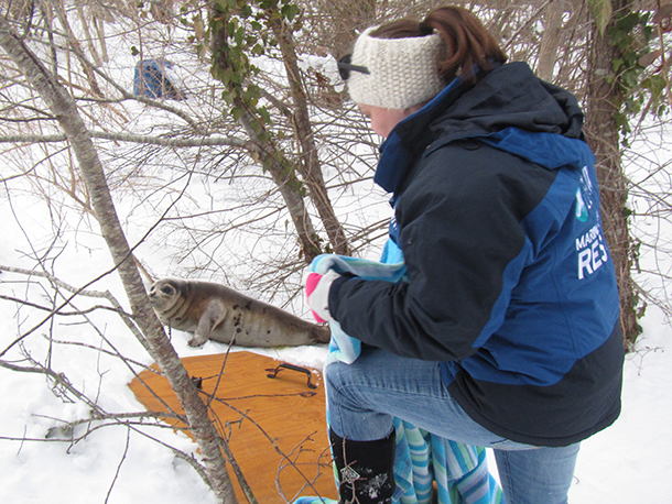 IFAW apprentice, Kasi Gilbert rescues harp seal from Cape Cod neighborhood.