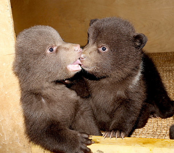 Rescued bear cubs must learn the skills needed to survive in the wild, but for now there is plenty of time to play.