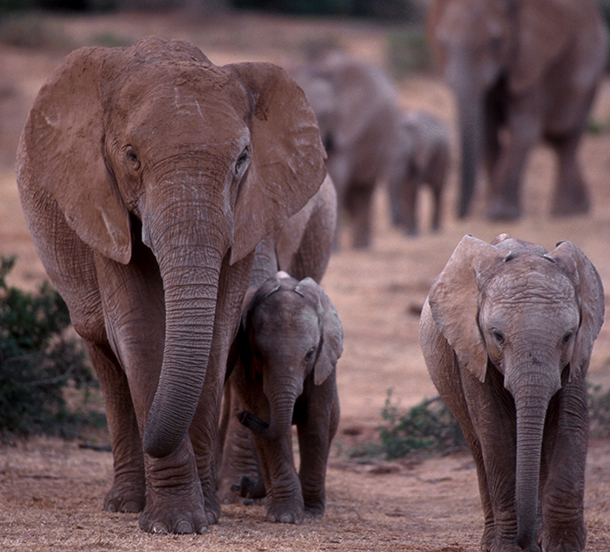 If we don't deal with demand for ivory in China, the battle for elephants in Africa will be lost.
