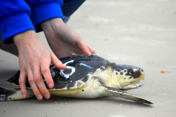 This was a record year with over 1,200 sea turtles stranding on Cape Cod beaches.