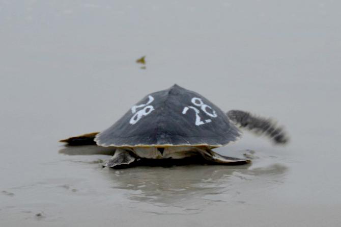 Quel plaisir de voir ces tortues en danger critique d'extinction retrouver le chemin de la liberté après une longue période de réhabilitation.