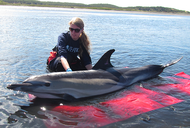 An IFAW responder with one of the five dolphins who recently stranded on Cape Cod.