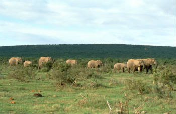 "In fact, elephants are ""keystone species,"" a term that describes species whose natural abundance is indicative of the natural well-being of its environment."