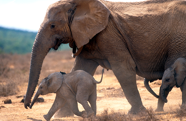 African elephants have been decimated by poaching. Today's White House announcement is a big step forward for elephants and hundreds of other species. c. IFAW/J. Hrusa