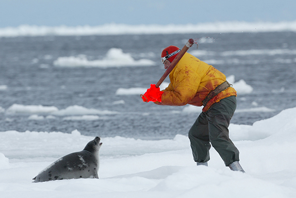 The Canadian commercial seal hunt has dwindled to only a handful of boats in the last few years, and now with the final WTO ruling and your help, we may see its final end. c. IFAW/S. Cook