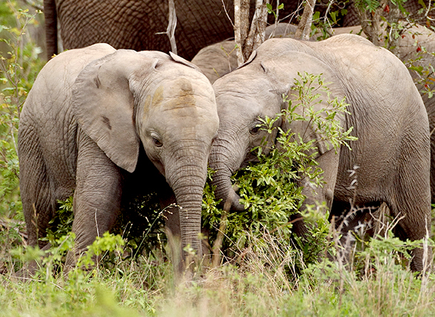 34 baby elephants were captured by the Zimbabwe government for export.