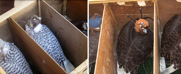 On the 9th of December, 2014 a number of falcons were seized.
