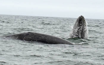 We photographed nine individual gray whales, seven of which we have already sighted this summer.