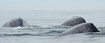 A group of western gray whales.