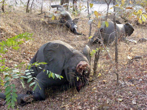 Three elephants poached in Cameroon for their ivory tusks. © Boubandjida Safari Lodge