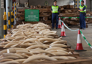 Criminal activity including wildlife trafficking has been identified by governments including the United States as a national security priority. Above: Seized ivory tusks at the Hong Kong Customs and Excise headquarters in Hong Kong, China, 08 August 2013. Image c. IFAW/Alex Hofford