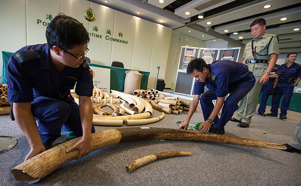 Confiscated ivory tusks from a baby elephant and an adult elephant are seen as part of an illegal shipment of ivory from Ivory Coast in Africa at the Hong Kong Customs & Excise Department Ports and Maritime Command Centre, Kwai Chung, Kowloon, Hong Kong, 03 October 2013.