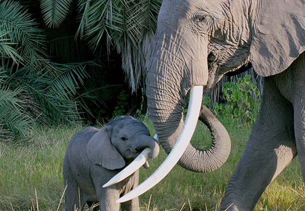 An upcoming IFAW event in Los Angeles will help projects in Amboseli protect elephants like this mother and her calf.