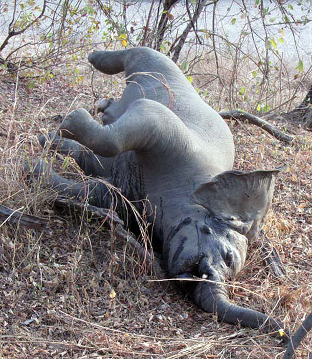 One of at least 200 elephants slaughtered for their tusks during a 2012 killing spree in Boubanjida.