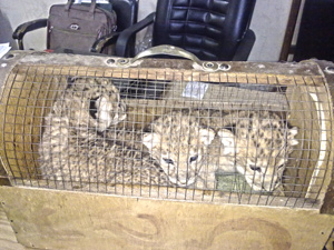 The smuggler kept trying to claim these were cats and not lion cubs!