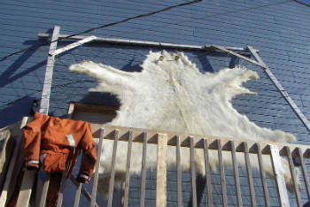 A polar bear skin like the one seen above just sold for a record $22,000 CAD. Photo Credit: Wikipedia
