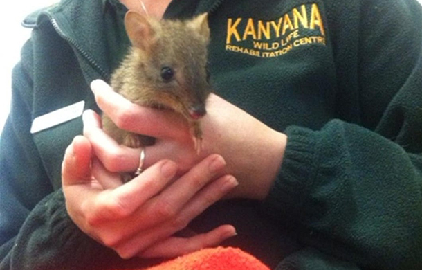 This critically-endangered woylie is part of Kanyana's breeding programme.