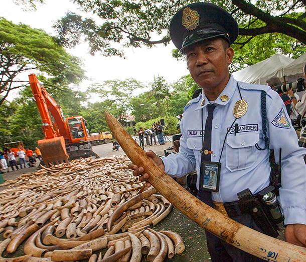 Ein Beamter führt vor der Elfenbeinzerstörung auf den Philippinen 2013 einen Stoßzahn vor. Wenn sich die Welle solcher Aktionen weiter fortsetzt, könnte sich das Blatt endlich gegen die Wilderer wenden. ©IFAW/A.Hofford