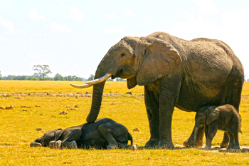 A sleepy Alison rests her trunk on her sleeping grand-daughter, while her youngest male calf dozes standing up.
