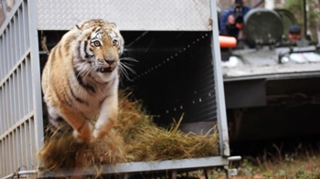 Seeing a wild Amur tiger is now practically impossible.