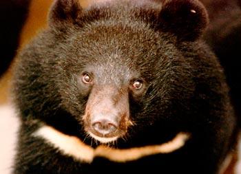 Een Aziatische zwarte beer. c. IFAW