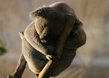 To join the Great Koala Count, simply register on NPA's Data Portal at koalacount.org.au and download BioTag.